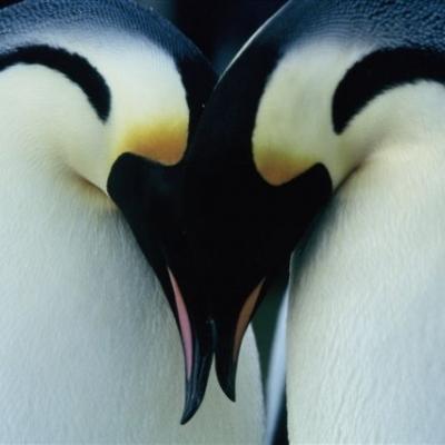 Pingvinek vándorlása